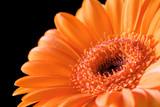 Close up bright orange gerbera flower