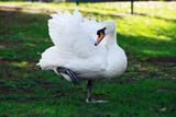 White beautiful swan