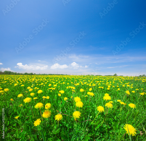 Staande foto Groene Yellow flowers field under blue cloudy sky