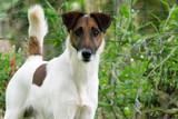 Gros plan sur un fox-terrier à poil lisse - 152326594