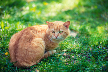 Red cat lying outdoor on the grass