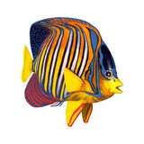 3D Rendering Royal Angelfish on White