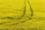 Tractor track in the flowering rape field