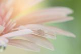 Pink Gerbera flowers in close up