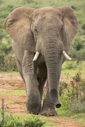 African Elephant Male Walking in the Wild Poster