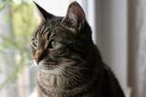 Tigerkatze am Fenster