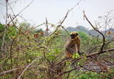 Indian gray langur monkey sitting on a wild berry tree in forest in Goa, India. Also known as hanuman langur and belongs to Semnopithecus Entellus species.