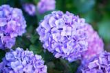 Hydrangea, soft focus, noise added. Beautiful flowers. Beauty in nature. Purple Hydrangea flower (Hydrangea macrophylla) in a garden.