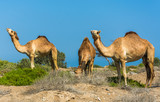 "Omani Camels - The camel, also called the ""Ship of the Desert"" is a vital part of the Omani Society, for it represents a deeply appreciated and highly valued tradition. Camels were not only the main m"