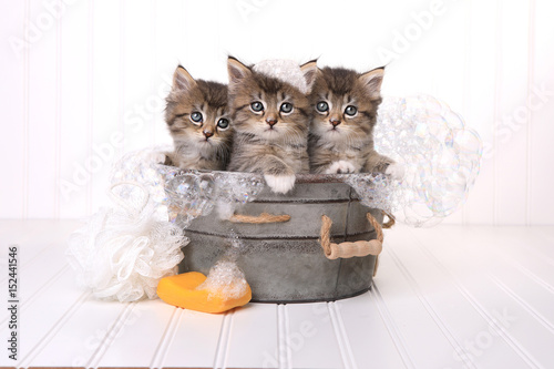 Cute Kittens in Washtub Getting Groomed By Bubble Bath Poster
