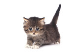 Cute Tiny Kitten on a White Background