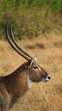 Ugandan Kob in Queen Elizabeth National Park, Uganda