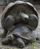 Two giant Aldabra tortoises mating on a grassy background.