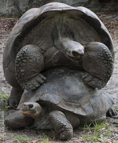 Aluminium Schildpad Two giant Aldabra tortoises mating on a grassy background.