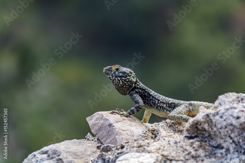 Lizard on medieval ruins, Monolithos castle, Rhodes island, Greece Poster