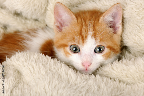 Poster cute red kitten