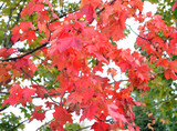 Autumn maple red leaves.