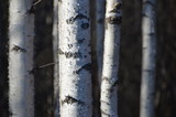 White birches trunks in the forest. Closeup.