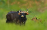 gaur-close- up in the nature.