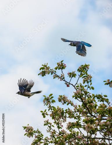 Blue Jay Bird in flight