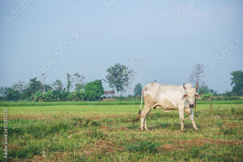 Common Asian cow in the field Poster