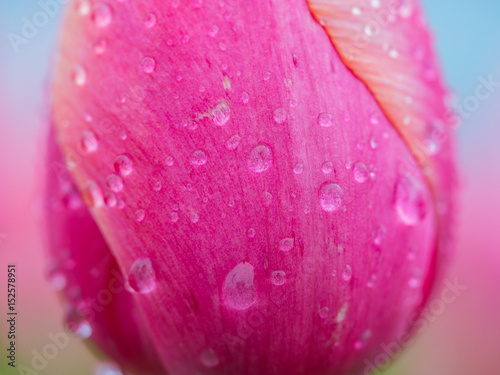 Foto op Canvas Roze Detailed macro view on yellow tulip petal with drops of water. Wooden Shoe Tulip Festival in Oregon, USA