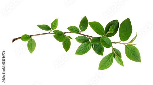 Foto Murales Fresh green leaves branch