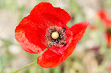 Red Poppy Wildflower In A Summer Day Closeup
