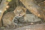 Two week old cute lion cub