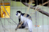Colobus black and white monkey
