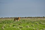 male lion ,Panthera leo, patrolling through the area, Panthera leo, Etosha National Park, Namibia, Africa