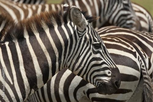 Kenya Nakuru Zebra