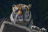 Portrait of the Amur tiger.