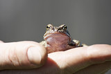 Frog on hand on a gray background..