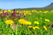 Spring meadow with blossoming dandelions. - 152673790