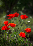 deep red poppies backlit