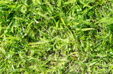 Background green grass in early spring for website or designer