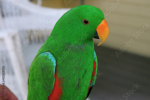 The beautiful and colored Eclectus Parrot portrait