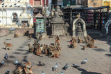 monkeys and dogs looking for food in Kathmandu