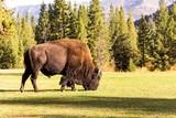 male bison buffalo grazing