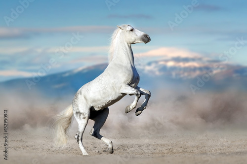 White stallion rearing up in desert dust against mountain landscape © callipso88