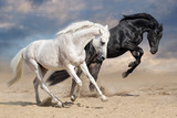 Black and white horses run in desert dust - 152951126