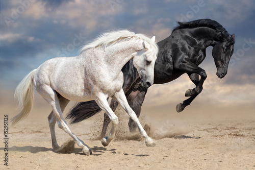 Obraz Fotograficzny Black and white horses run in desert dust