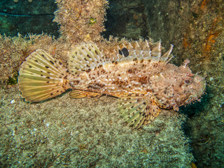 Red Scorpion Fish 2 (Scorpaena scrofa)