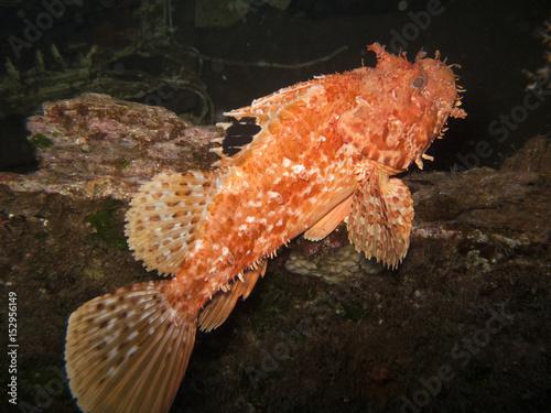 Red Scorpion fish (Scorpaena scrofa) Poster