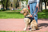 Guide dog is helping a blind man - 152975593