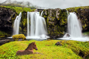 Icelandic horse rested in the tall grass