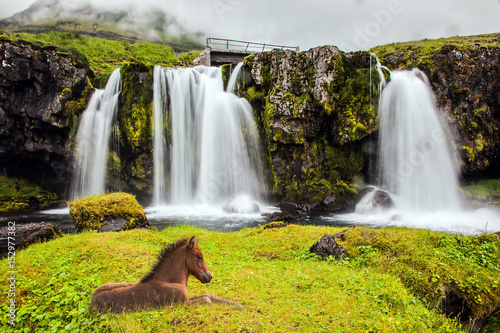 Icelandic horse rested in the tall grass Poster