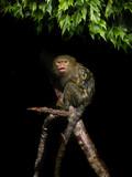 singe ouistiti pygmée petit fond végétal lierre noir