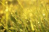 Tautropfen und Grashalme im Sonnenlicht